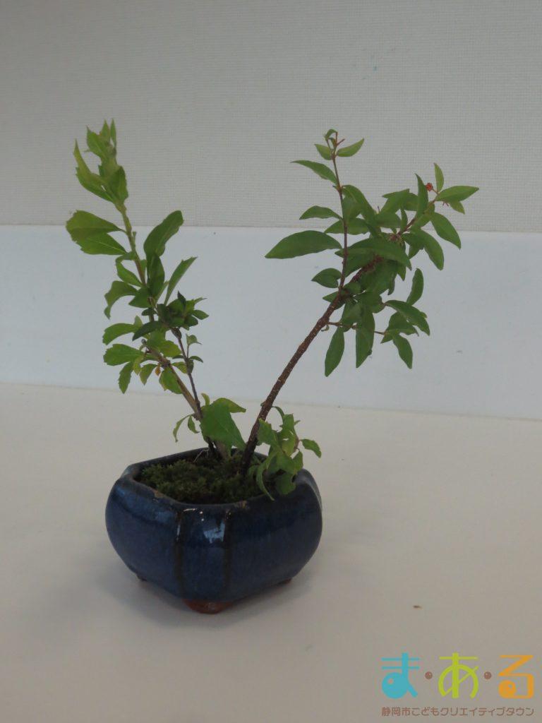 2017年10月8日樹木医による木のお世話~「うえかえ」と「せんてい」に挑戦~